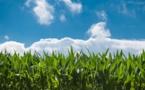 Des organisations demandent l'interdiction du maïs MON810