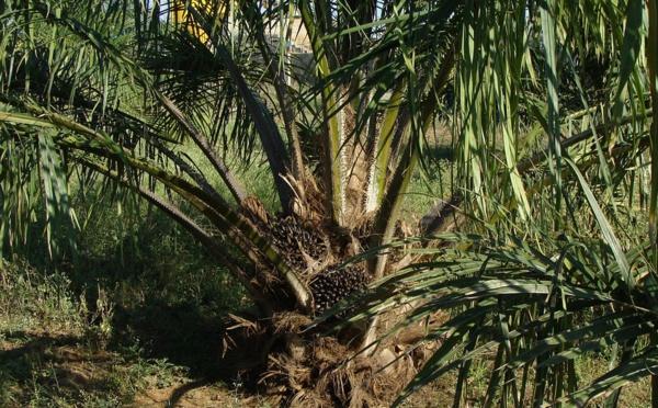 Le Parlement européen alerte sur les dangers de l'huile de palme