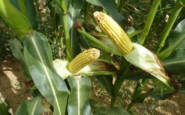 UE et OGM, le Conseil doit décider de l'autorisation du maïs 1507